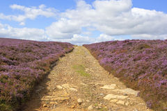 Bridleway through flowering heather Stock Photos