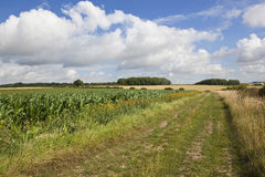 Bridleway with maize Stock Images