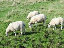 Bridlington a las ovejas costeras de la trayectoria de la cabeza del flamborough que pastan Fotografía de archivo