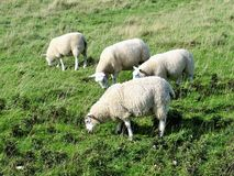 Bridlington to flamborough head  coastal path sheep grazing. Royalty Free Stock Images