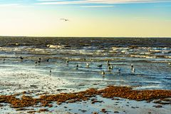 Brids relax at the beach. Many brids are walking and flying on the beach in the evening Stock Photography