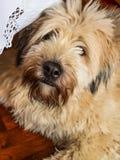 Brie del perro pastor Foto de archivo libre de regalías