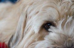 Brie del perro pastor Imagenes de archivo