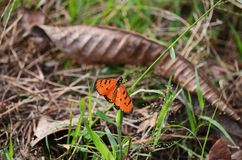 A Tawny Coster butterfly spreads its beautiful orange wings. For a brief moment this Tawny Coster butterfly landed on a stalk of grass and spread its wings royalty free stock photo