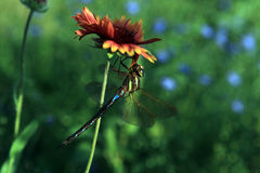 Brief moments from the life of insects. Dragonfly on flower Royalty Free Stock Image