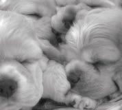 Brief Serenity. Macro of 6 week old American Cocker Spaniel puppies sleeping stock images