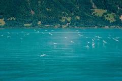 Brienzersee, Interlaken Switzerland. Birds flying up from a lake in the mountains. Interlaken, Switzerland Royalty Free Stock Photography