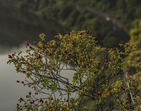 Brier arbusto com a bola vermelha do fruto foto de stock royalty free