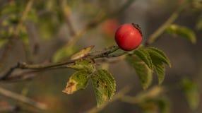 Brier arbusto com a bola vermelha do fruto foto de stock