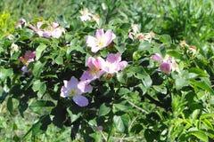Brier cespuglio con i fiori fotografie stock libere da diritti