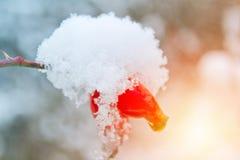 Brier cobriu com a neve, foto do close-up na cor azul e alaranjada fotografia de stock royalty free