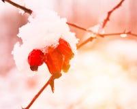 Brier cobriu com a neve, foto do close-up na cor vermelha imagem de stock