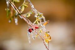 Brier Ice Stock Photo