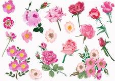 brier kwiatów menchii różany set ilustracji