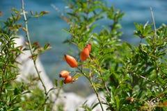 Brier met bessen op de overzeese kust van de baai Royalty-vrije Stock Foto's