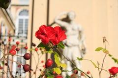 Brier o una rosa canina Fotografia Stock Libera da Diritti