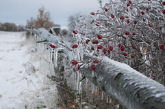 Brier plant covered in ice Stock Photo