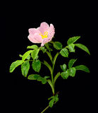 Brier rose Stock Images