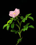 Brier rose Royalty Free Stock Images