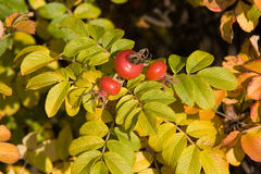Brier shrub Royalty Free Stock Photo