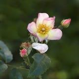 Brier (wild rose) Stock Photos