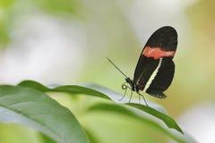 Brievenbestellervlinder op blad Stock Foto