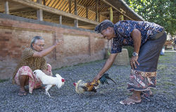 Briga de galos em Bali rural imagens de stock royalty free