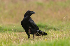 Brigh black plumage of a crow. In the nature Royalty Free Stock Image