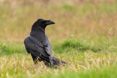 Brigh black plumage of a crow. In the nature Royalty Free Stock Images