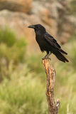 Brigh black plumage of a crow. In the nature Stock Images