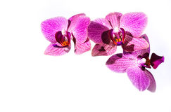 Brigh rosa färgorchidea Royaltyfria Bilder