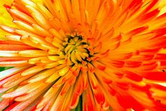 Bright abstract background of flower of aster Royalty Free Stock Photography