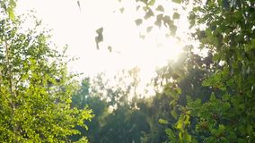 Bright afternoon in the forest,  blurred background and sunlights with lens flare in slowmotion. 1920x1080 stock video footage