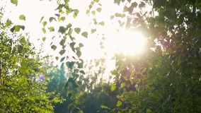 Bright afternoon in the forest, sunlights with lens flare in slowmotion. 1920x1080. Bright afternoon in the forest, abstract environmental backgrounds with birch stock footage