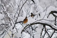 Bright American robin in the snow. American robin perched on a snow covered branch in northern Virginia Royalty Free Stock Photography