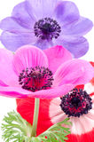 Bright Anemone Flowers Royalty Free Stock Image