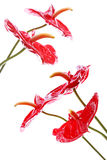 Bright Anthurium Flowers Royalty Free Stock Photography