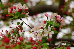 Bright apple blossom and buds Royalty Free Stock Photography