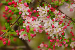 Bright apple blossom and buds Stock Photography