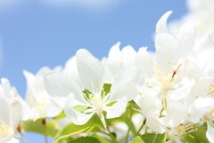 Bright Apple Blossoms. Bright white apple blossoms in the spring Royalty Free Stock Image