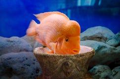 Bright aquarium fish citron. Bright aquarium fish. Pet and beautiful decor of the room Royalty Free Stock Photo