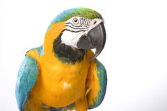 Bright Ara parrot. A portrait of a bright blue and yellow macaw parrot Stock Photos