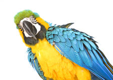 Bright Ara parrot. A portrait of a bright blue and yellow macaw parrot Stock Photography
