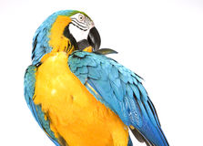 Bright Ara parrot. A portrait of a bright blue and yellow macaw parrot Royalty Free Stock Photo