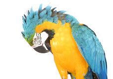 Bright Ara parrot. A portrait of a bright blue and yellow macaw parrot Royalty Free Stock Photos