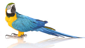 Bright Ara parrot. A portrait of a bright blue and yellow macaw parrotBright Ara parrot Stock Image