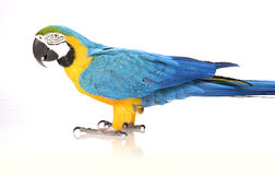 Bright Ara parrot. A portrait of a bright blue and yellow macaw parrot Stock Photo