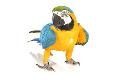 Bright ara parrot. Standing bright blue and yellow macaw parrot Stock Photos