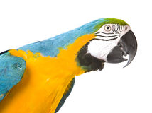 Bright ara parrot. Sitting bright blue and yellow macaw parrot Royalty Free Stock Photos