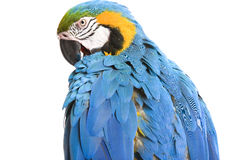 Bright ara parrot. Sitting bright blue and yellow macaw parrot Stock Photos
